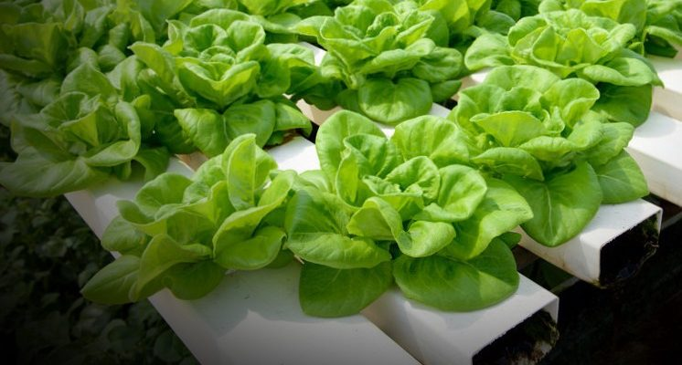 lettuce with hydroponics