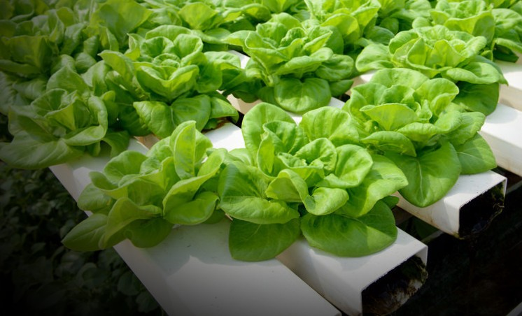 let's grow lettuce with hydroponics