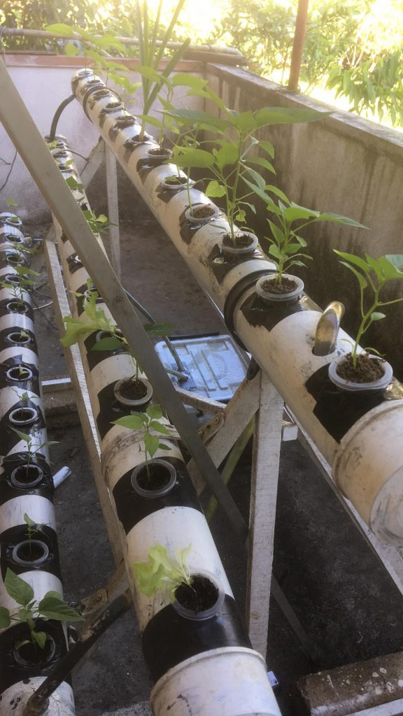 How I fixed issues with my hydroponics chilli and lettuce plants?